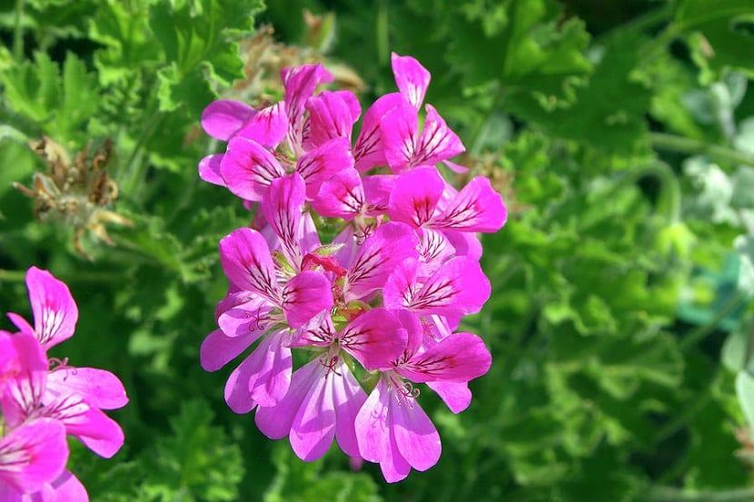 racimo de flores de color vivo y con pétalos rosas