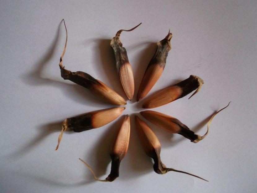 Los piñones son semillas de la Araucaria