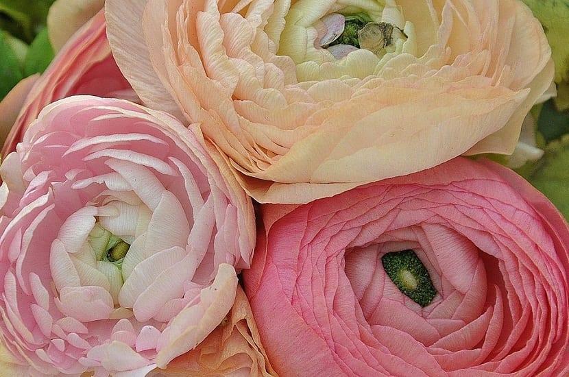 tres flores de diferentes colores llenas de petalos llamadas Ranunculus asiaticus