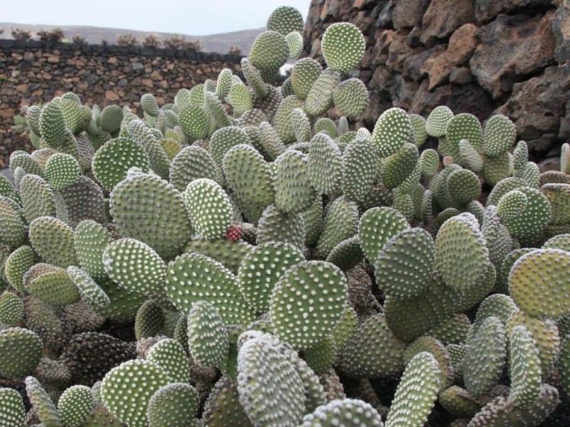 un gran numero de cactus que han aparecido en una meseta