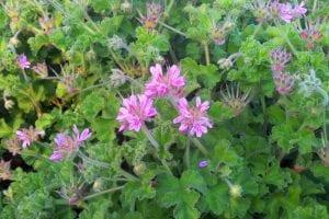 varios geranios juntos con flores de colores muy vivos