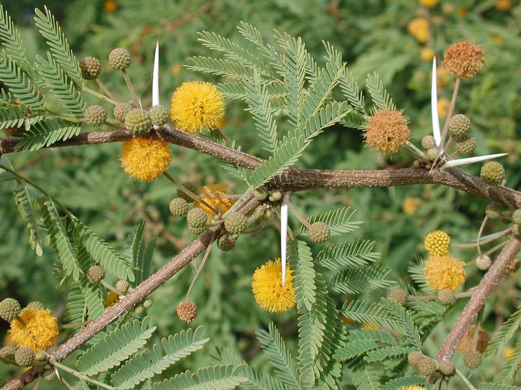 Vista de la Acacia farnesiana