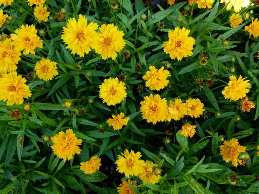 La Coreopsis grandiflora es una planta de flor amarilla