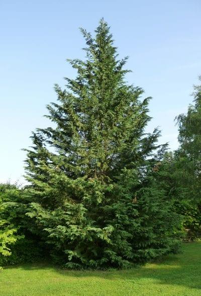 El Cupressus leylandii es un árbol grande