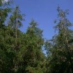 Vista del Cupressus lusitanica