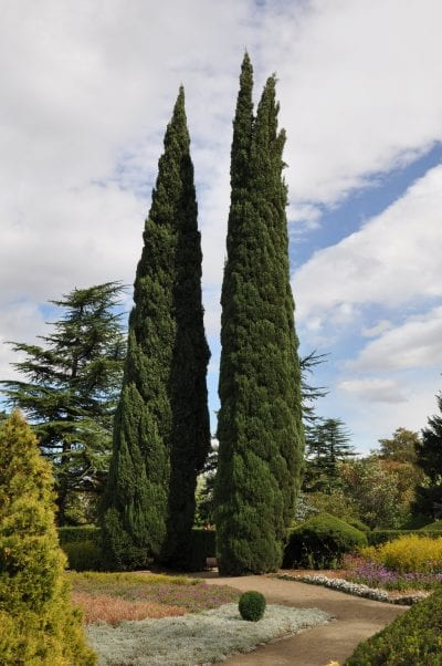 Vista del Cupressus sempervirens