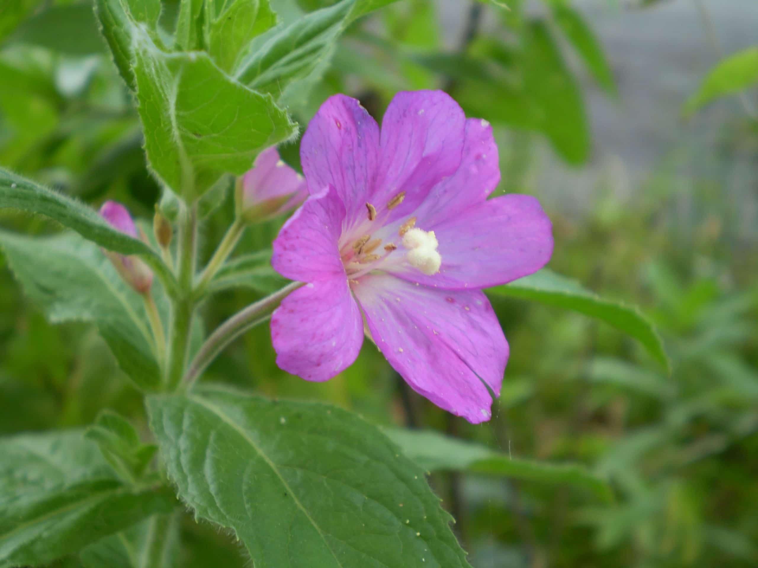 Vista del Epilobium parviflorum en flor