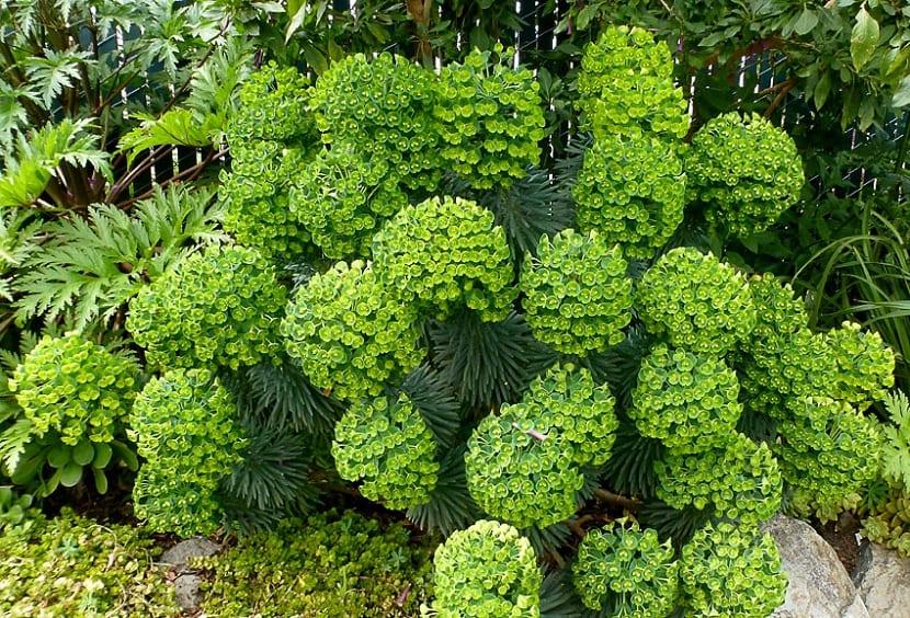 Euphorbia characias decoración
