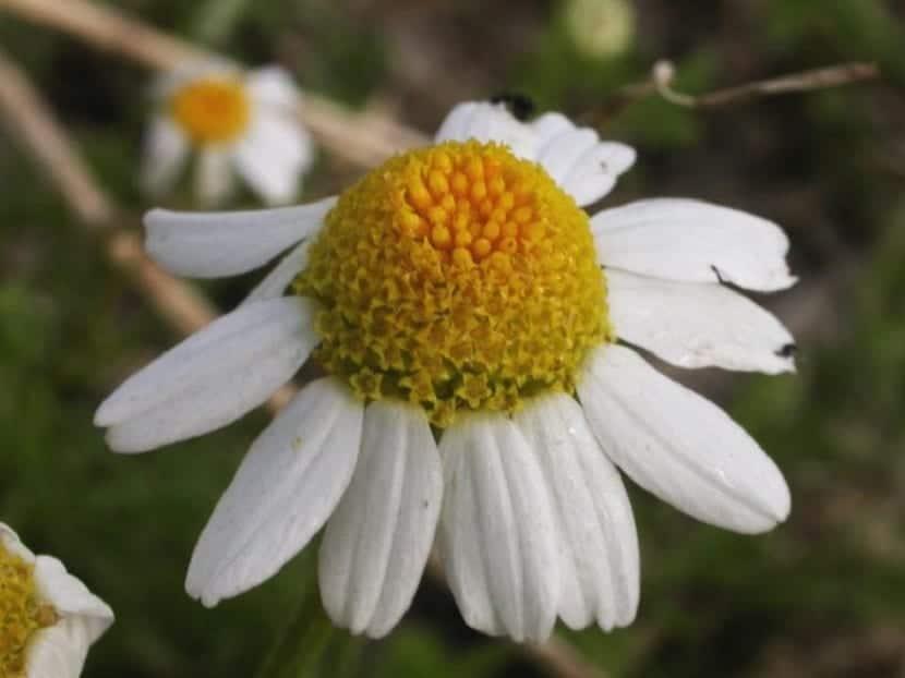Flor de Anthemis arvensis