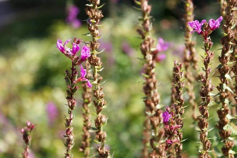 Flores de Lythrum salicaria