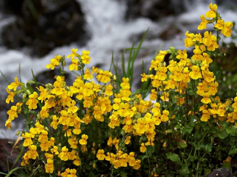 Flores de las plantas Mimulus