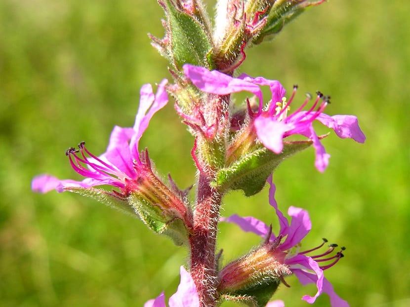 Flores del frailecillo