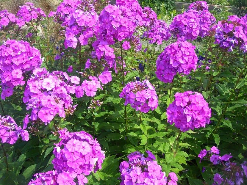 Flores purpura