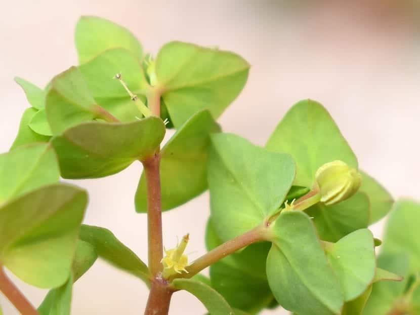 Hojas de Euphorbia peplus