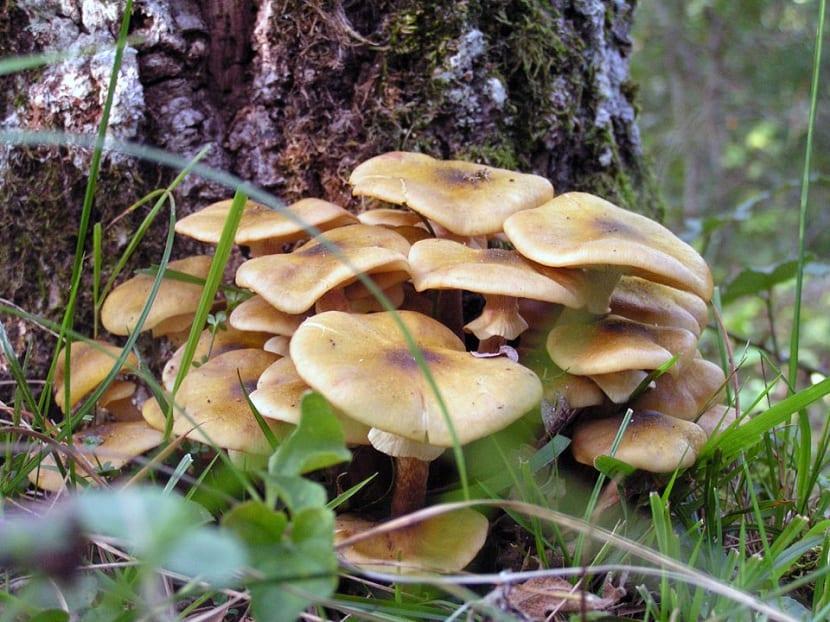 Hongo que crece en la base de árboles