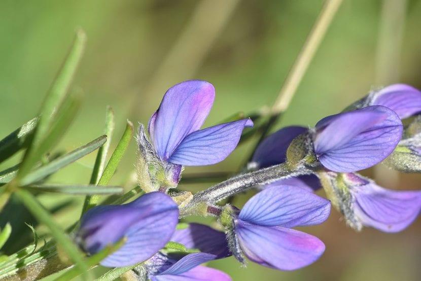 Las flores del Lupinus angustifolius son azules