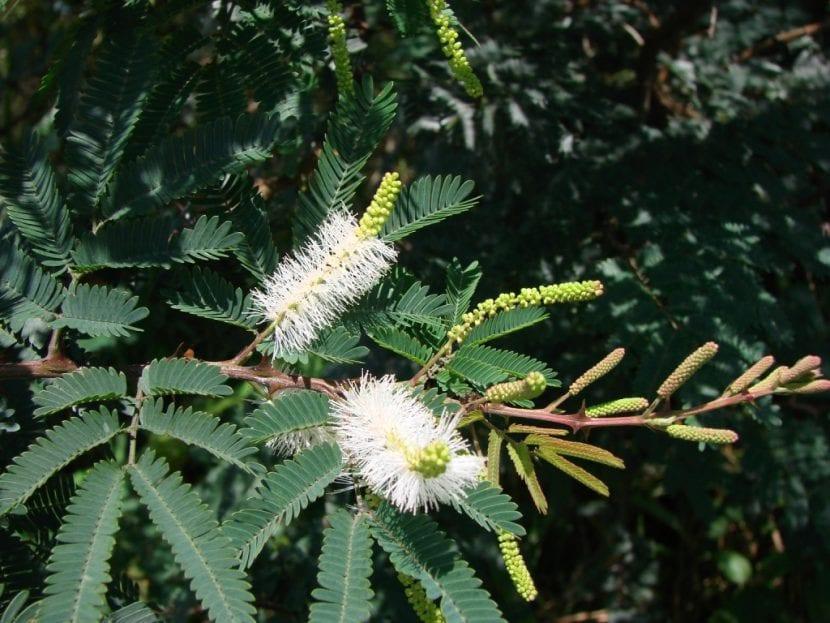 La Mimosa hostilis es una planta tropical