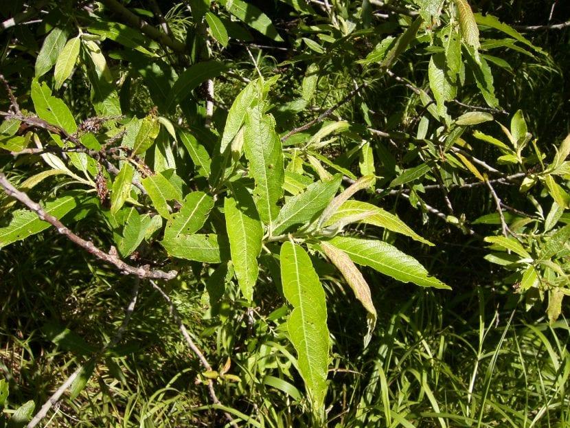 Vista del Salix canariensis