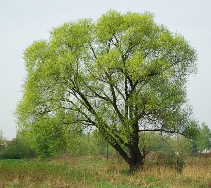 Vista del Salix fragilis