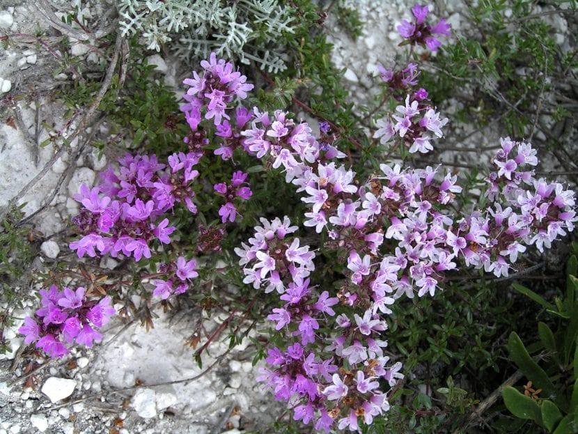Vista del Thymus calcareus