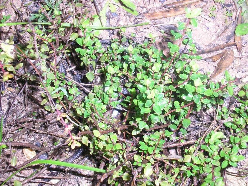 Vista del Thymus piperella