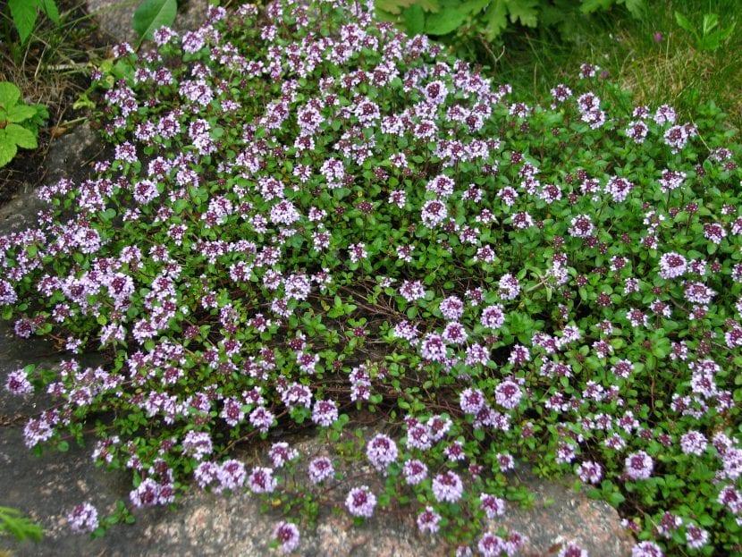 Vista del Thymus serpyllum