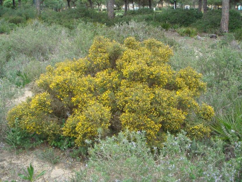 Vista del Ulex australis en hábitat