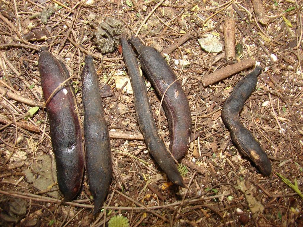 Frutos de la Acacia farnesiana