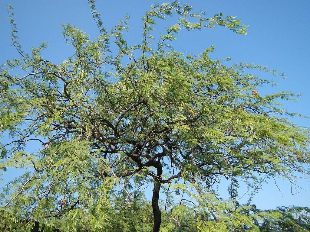 Acacia farnesiana adulta