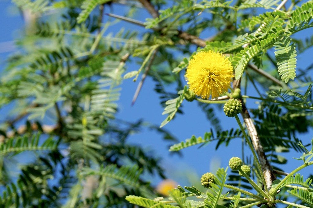 Vista de la Acacia farnesiana en flor