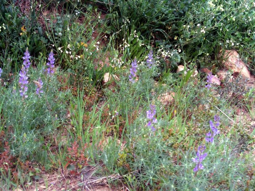 Lupinus angustifolius en hábitat