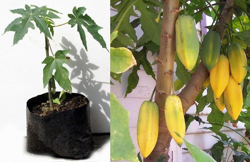 arbol de Babaco lleno de frutos