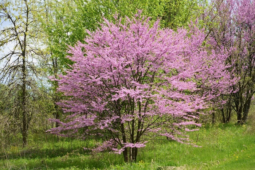 arbol pequeno lleno de flores parecidas a la de los cerezos