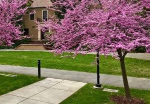 El Cercis canadensis es muy llamativo por sus abundantes y delicadas flores rosadas. Durante los meses de abril y mayo ofrece un hermoso espectáculo primaveral que asemeja a la ilustración de un cuento de hadas. Estos árboles sencillos de cultivar y mantener ofrecen un excelente paisajismo digno de admirar. Siendo un arbusto o árbol pequeño es de cuidado sencillo y muy noble. La estructura de las ramas y forma de las hojas lo hace combinar perfectamente con los climas templados. Este pequeño árbol es ideal para cultivarse en la zona norte de la línea del ecuador. Origen y características del Cercis Canadensis El Cercis canadensis es una especie de árbol de la familia de las Fabaceae. El lugar de origen de esta especie es el Este de Norteamérica. Abarca desde Ontario en Canadá hasta Florida en los Estados Unidos incluso se conoce especies al este de México. Este árbol también se conoce con los nombres de amor o ciclamor del Canadá, ciclamor del este y árbol de Judas. La palabra Cercis tiene su origen en el griego antiguo cuyo significado es ciclamor. Canadensis es el epíteto que obviamente se refiere al lugar de donde proviene, Canadá. Características Este es un árbol pequeño o arbusto grande que puede llegar a medir entre 6 y 9 metros de alto. Sus ramas se expanden entre 8 y 10 metros y a los diez años de edad puede tener una altura de cinco metros aproximado con un tronco de características retorcidas y corteza oscura. Las ramas se extienden en zigzag y son delgadas de color negro. El tallo y las ramas pasan por una gama de colores castaños, rojizos, marrón y negro según la maduración de la planta. Las hojas tienen forma de corazón, amplias de 7 a 12 cm. La textura es delgada como el papel con vellosidad, mientras son jóvenes, al desarrollarse completamente son lisas de color verde oscuro. En otoño el color de las hojas es amarilla claro y brillante. Las flores de este árbol son muy vistosas, su color es rosado magenta e incluso también las hay blancas, violetas y 