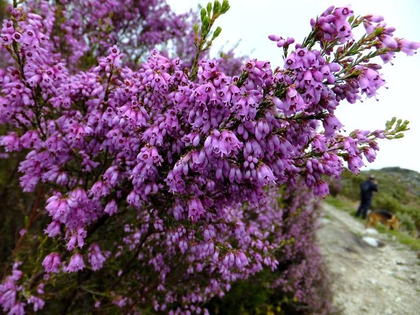 arbusto con flores parecidas a las campanillas