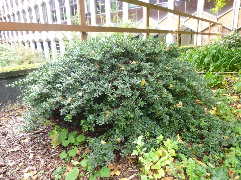 El Ilex crenata es un arbusto bajo