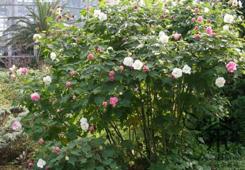arbusto lleno de flores o rosas de diferentes colores