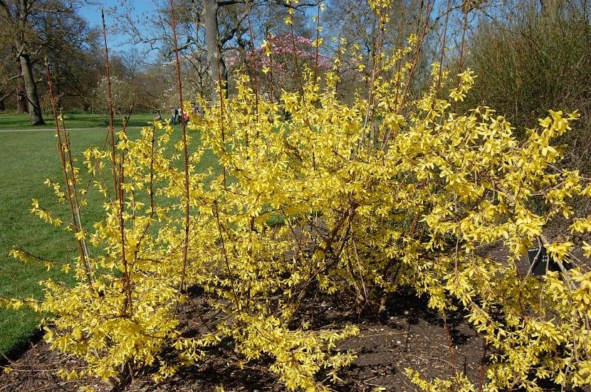 arbusto lleno de pequenas flores amarillas