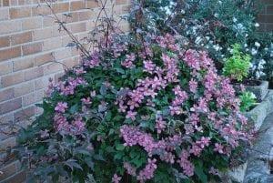 arbusto plantado en jardin de color rosa