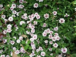 arbusto tapizante con flores
