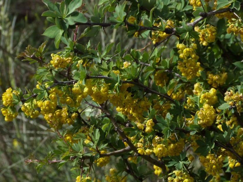 Vista del Berberis hispanica en hábitat