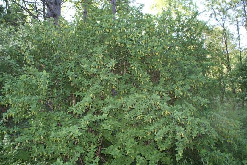Berberis vulgaris en un jardín botánico