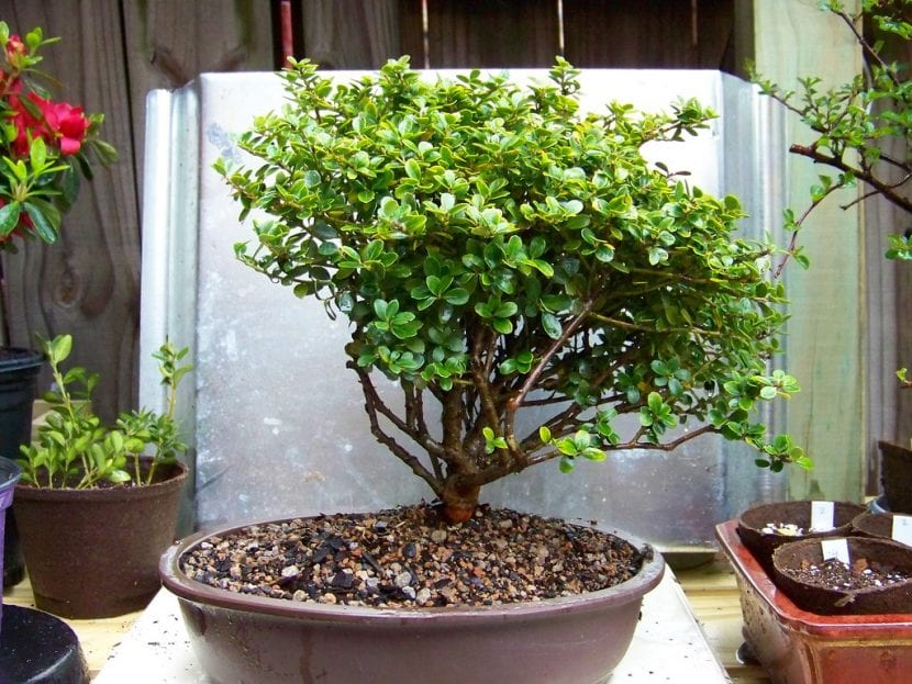Vista del bonsái de Ilex crenata