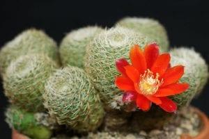 cactus con una gran flor naranja