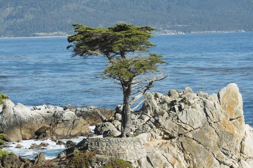 El ciprés puede crecer cerca del mar