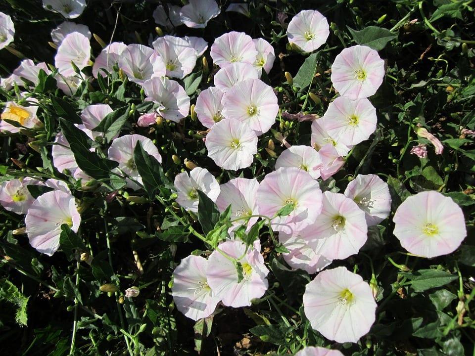 Las flores de la correhuela son simples