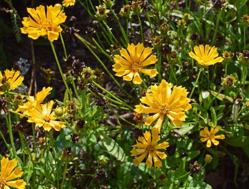 El coreopsis es una flor muy bonita