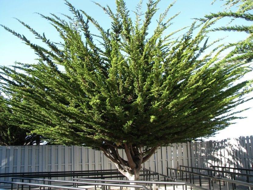 El Cupressus macrocarpa es una conífera