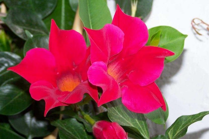 dos flores rojas de la planta trepadora Mandevilla sanderi
