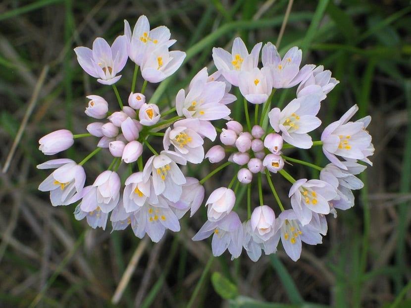 dos racimos de flores de color blanco a rosa